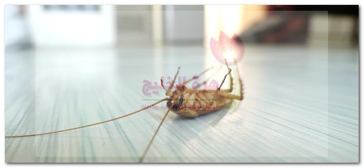 مكافحة الصراصير في الرماقية